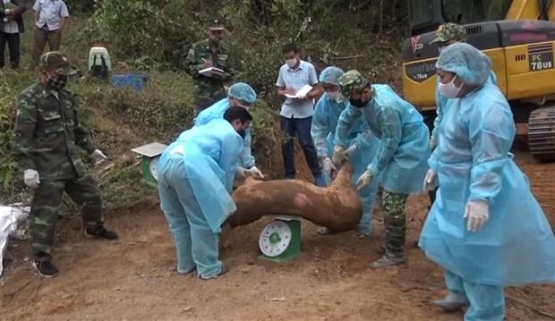 山萝省发现并销毁大量从老挝非法运输到越南的生猪 hinh anh 2