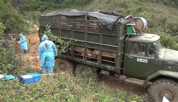山萝省发现并销毁大量从老挝非法运输到越南的生猪 hinh anh 1