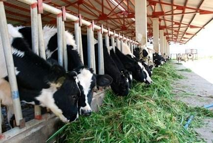 河南省可持续发展奶牛养殖业 hinh anh 1