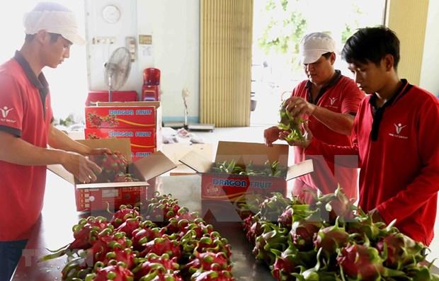越南红心火龙果展销周活动在澳大利亚圆满举行 hinh anh 1