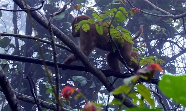宣光省释放一只猕猴回归自然 hinh anh 1
