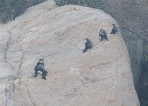 大量珍贵叶猴在宁顺省海岸森林出现 hinh anh 2