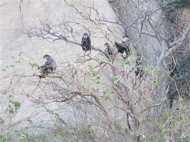 大量珍贵叶猴在宁顺省海岸森林出现 hinh anh 1