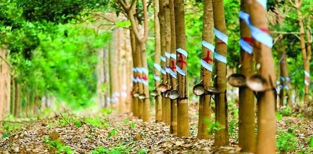 马来西亚天然橡胶产量下降 出口量有所增长 hinh anh 1