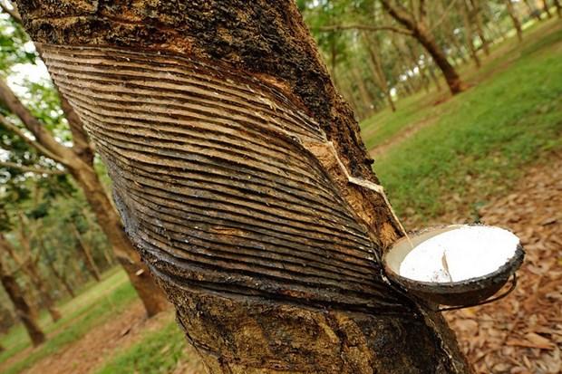 2020年第一季度柬埔寨橡胶出口额达逾7500万美元 hinh anh 1