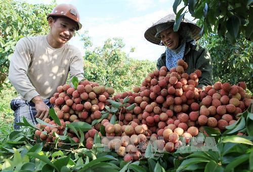 海阳省扩大达到国际标准的荔枝生产面积 hinh anh 1