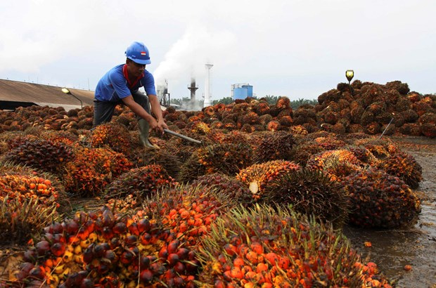 受新冠肺炎疫情的影响印尼的棕榈油出口量下降34% hinh anh 1
