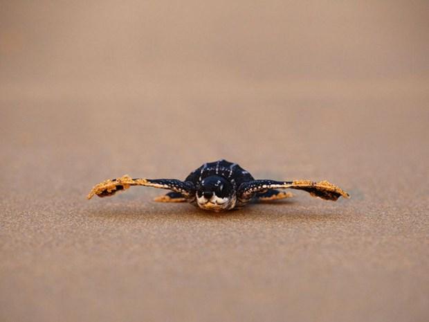泰国发现11个稀有棱皮龟巢 hinh anh 2