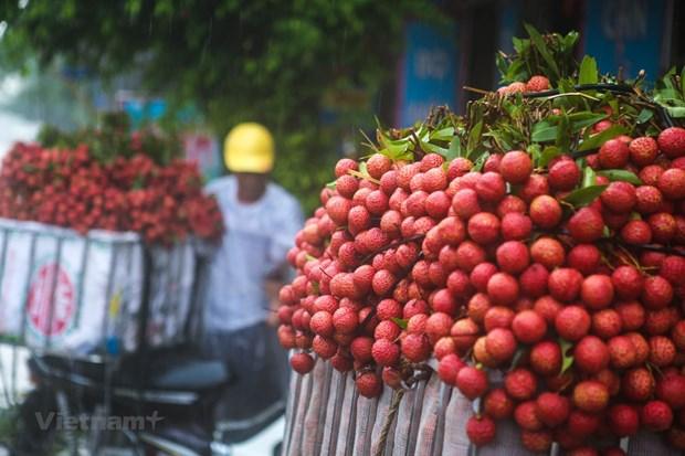 越南积极为首批新鲜荔枝出口到日本市场做出准备 hinh anh 1