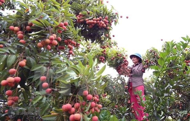 北江省预计5月底将向日本出口首批鲜荔枝 hinh anh 1