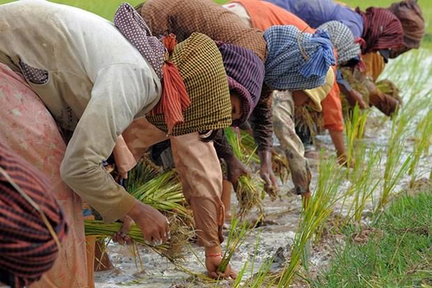 柬埔寨增加农业财政支持 hinh anh 1