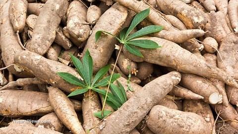 2020年前4月木薯出口量激增出口额下降 hinh anh 1