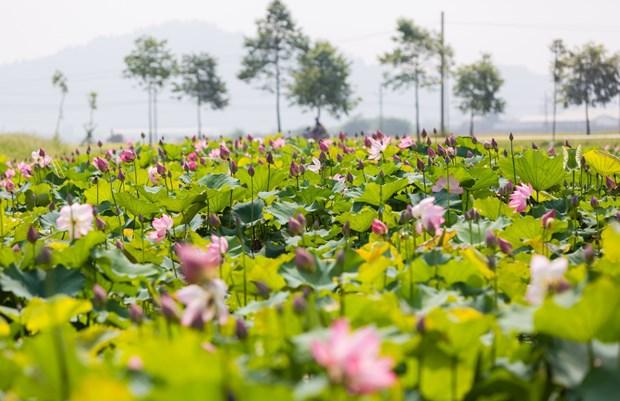 胡志明主席诞辰130周年:荷花塘—胡伯伯家乡旅游文化的亮点 hinh anh 2