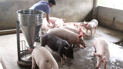 工贸部副部长杜胜海:确保猪肉供应充足的措施就是恢复生猪生产 hinh anh 2