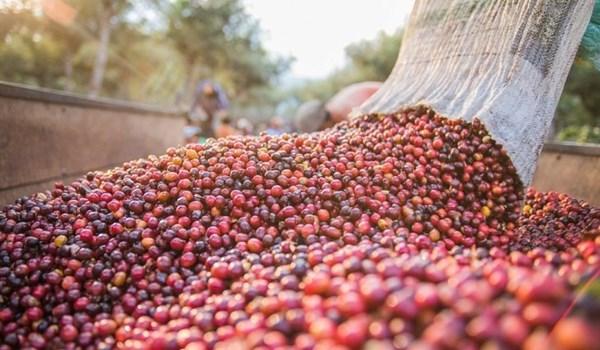 越南农产品价格呈现上涨趋势 hinh anh 2