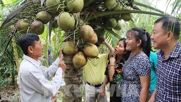 越南茶荣省有机椰子达到国际标准 hinh anh 1