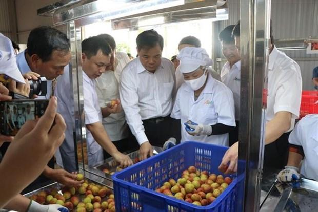 海阳省向新加坡、美国、澳大利亚出口2020年首批荔枝 hinh anh 1