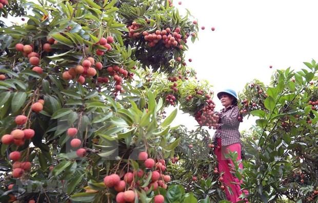越南通过老街口岸出口6400吨荔枝 hinh anh 1