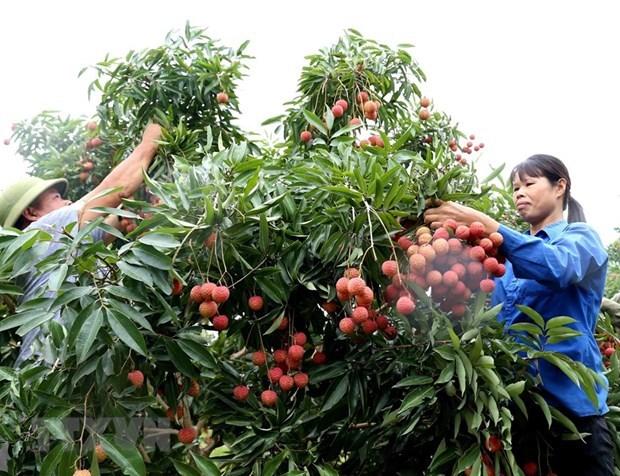 6月3日本专家赴越南对出口到日本的荔枝进行检查 hinh anh 1