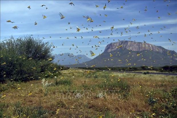 越南制定各种方案 应对沙漠蝗虫入侵 hinh anh 1