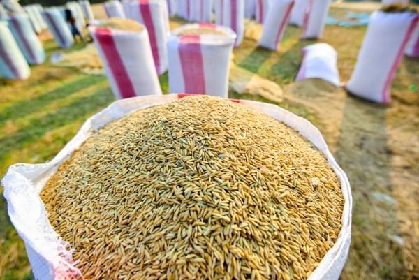2020年初至今柬埔寨对越南出口的稻谷量达近100万吨 hinh anh 1