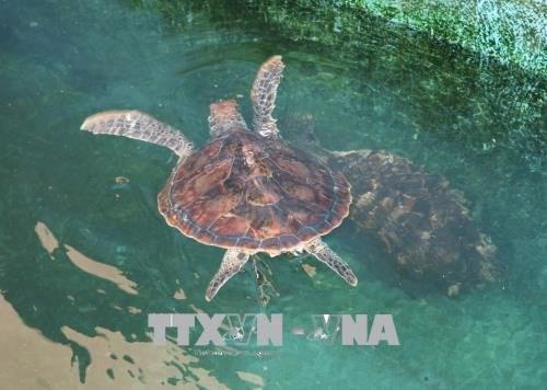 广治省努力保护珍稀海龟 hinh anh 1