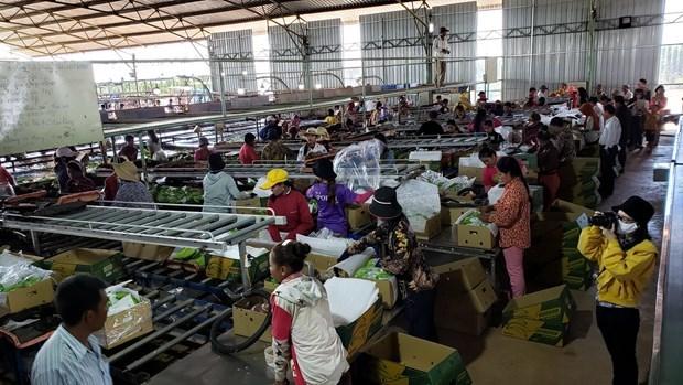 越南农业经营企业为柬埔寨劳动者创造就业机会 hinh anh 1