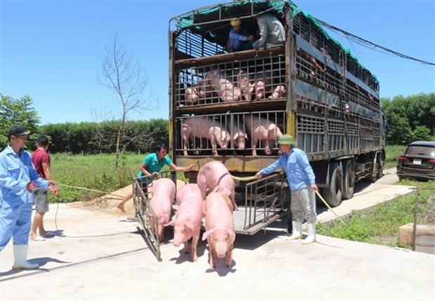 越南从泰国进口的首批500头生猪抵达乂安省 hinh anh 2