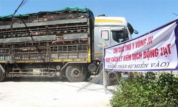 越南从泰国进口的首批500头生猪抵达乂安省 hinh anh 1