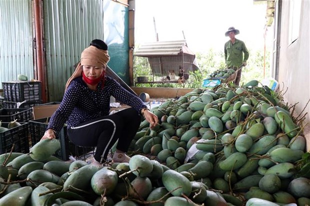 山萝省向美国市场出口30吨芒果 hinh anh 2