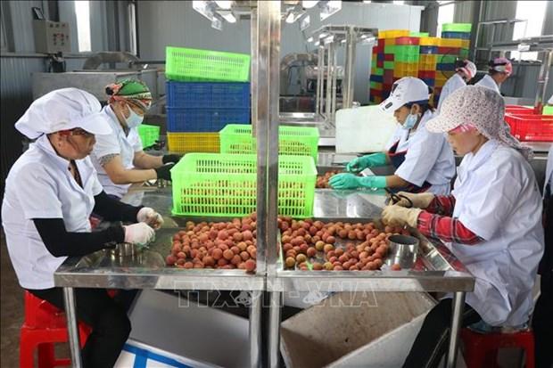 海阳省向日本出口第一批新鲜荔枝 hinh anh 1