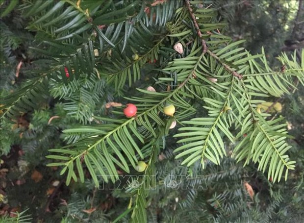 清化省浦良自然保护区成功保护珍贵稀有的华南五针松和红豆杉 hinh anh 2
