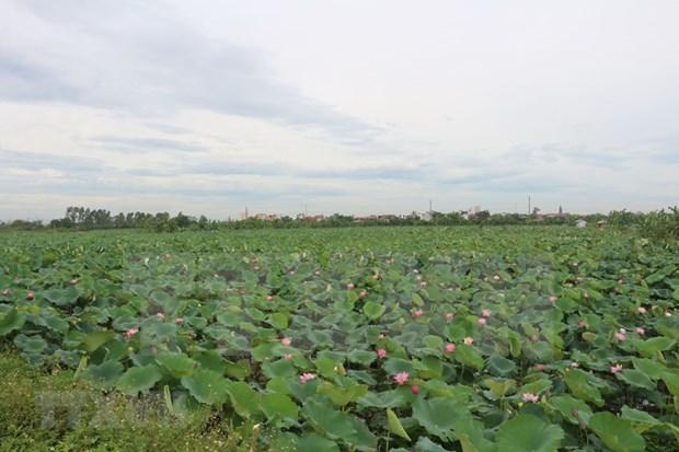 河南省正进入莲子收获的季节 hinh anh 1