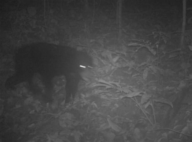 清化省发现14只亚洲黑熊和69只长颌带狸等稀有动物 hinh anh 1