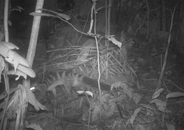 清化省发现14只亚洲黑熊和69只长颌带狸等稀有动物 hinh anh 2