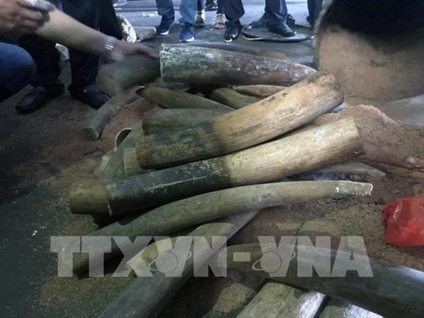 越南警方破获一起非法贩卖200公斤象牙案 3名犯罪嫌疑人获刑 hinh anh 1