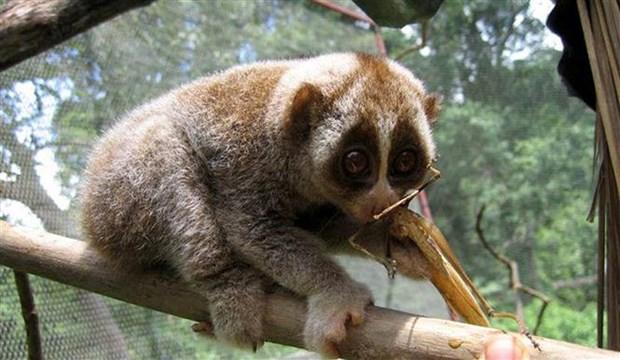 清化省春莲自然保护区努力保护珍稀蜂猴物种 hinh anh 1