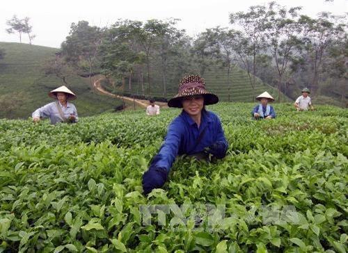 富寿省努力为茶叶产品申请品牌认证 hinh anh 1