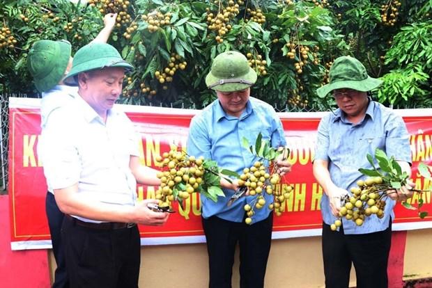 海阳省2020年首批龙眼出口澳大利亚和新加坡 hinh anh 1