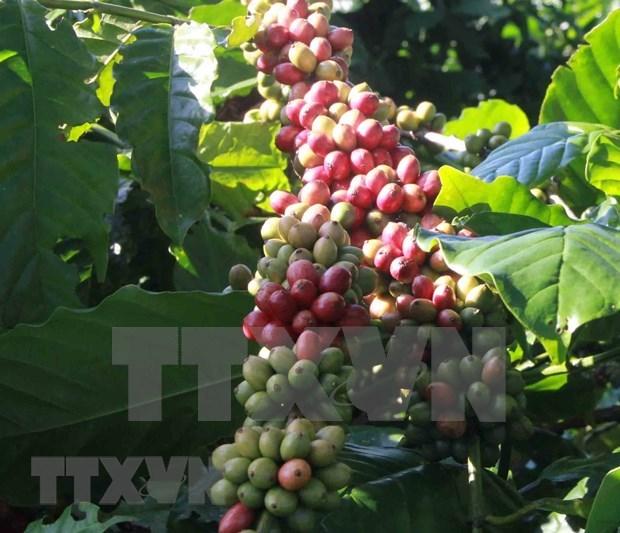 越南大米和咖啡价格保持增长势头 hinh anh 2