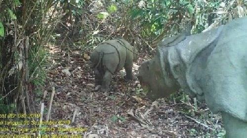 印尼发现两只稀有的爪哇犀牛 hinh anh 1