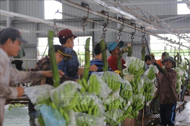 在柬埔寨的越南农业项目协助越裔柬埔寨人进行职业转型 hinh anh 2
