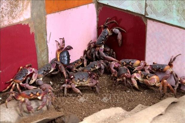 李山岛努力保护与可持续开发石蟹 hinh anh 1