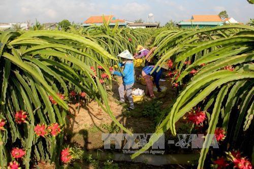 隆安省农产品生产链初步见效 hinh anh 1