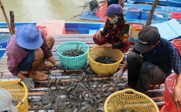 茶荣省虾类养殖产量超出全年计划 hinh anh 1