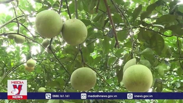 颗颗柚子让宣光省安山县居民走上致富路 hinh anh 1