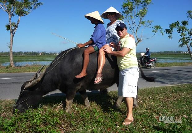 骑水牛体验活动--会安市农民独一无二的旅游产品 hinh anh 1