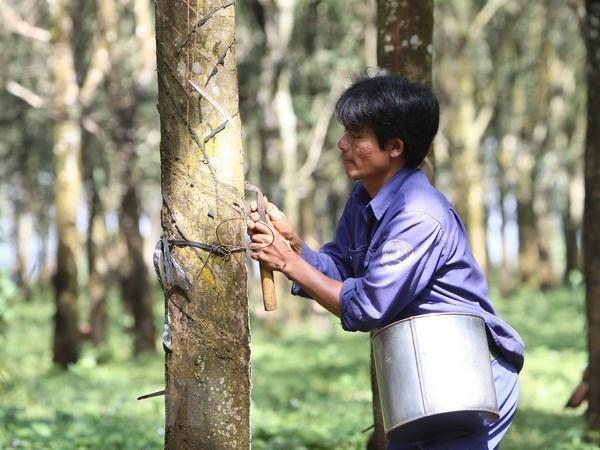越南橡胶工业集团向市场供应天然橡胶近323600吨 hinh anh 1