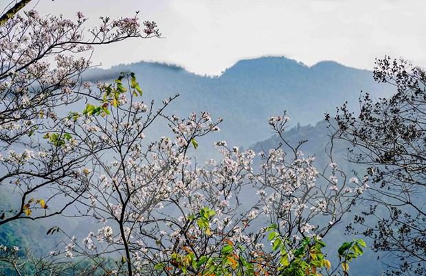 越南西北地区羊蹄甲花绽放迎春 hinh anh 1