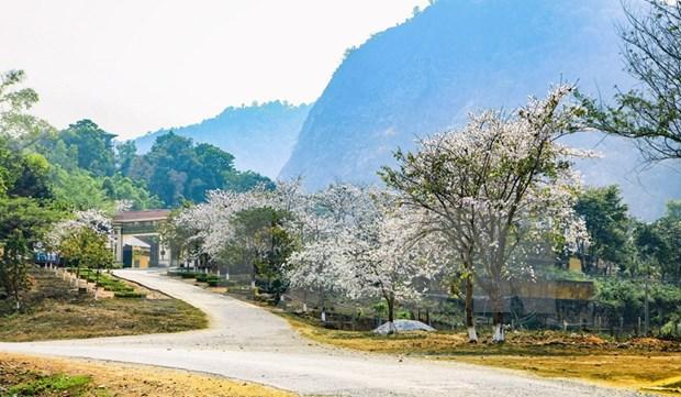 越南西北地区羊蹄甲花绽放迎春 hinh anh 3